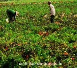 Cultivo de tomate sin tutorado